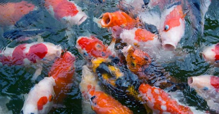 Will Koi Grow In A Small Pond? Yes, If You Take Care Of These 4 Things.