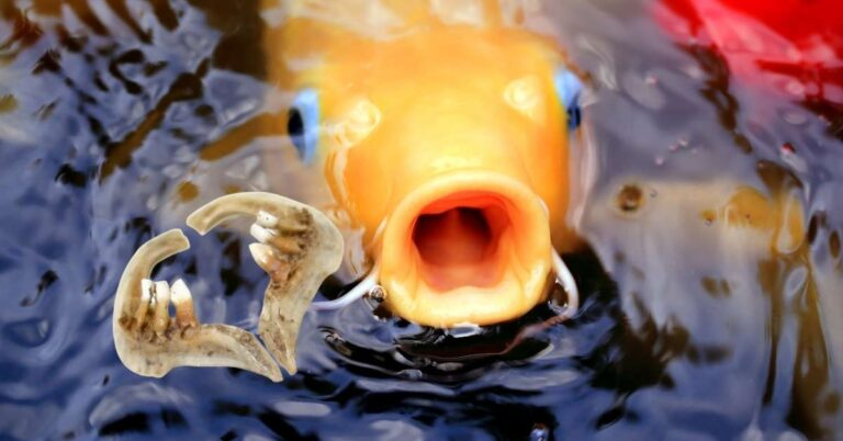 Do Koi Fish Have Teeth? Here's What Happens If One Bites You